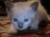 We have two male siamese kittens available to rehome at