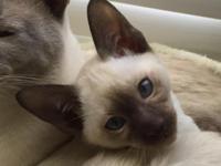 Siamese kittens, modern type, very elegant (see