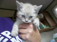 I have 2 female Siamese kittens with blue eyes. Mother