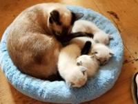 2 Male Seal Point Siamese Kittens Will have wormings,