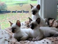 Beautiful Siamese kittens with great personalities .