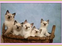 BALINESE beauties - a rare type of Purebred SIAMESE.