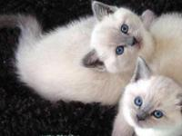 Gorgeous Siamese Kittens located in Ashtabula Ohio.