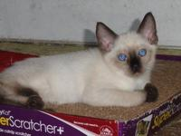 Siamese Kittens,CFA Registered. Beautiful Apple Heads.