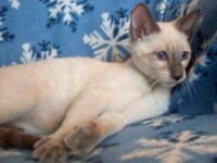 We have Available Kittens! We have a gorgeous Lilac