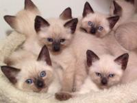 I have 9 adorable Siamese Seal Point Applehead kitties