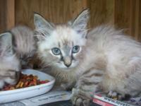 I have 2, 3/4 linx point Siamese kittycats for sale.