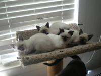 Siamese kittens for sale in chesaning michigan ~