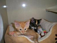 Siamese - Kittens Galore - Medium - Baby - Female -