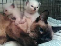 Gorgeous Siamese kittens seven weeks old litter box
