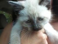 2 - 8 week old siamese kittens left. Both males!!