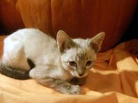 10 week old siamese Kittens readily available now. 4