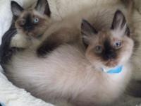Meowtime cattery has TWO BABY BOYS LEFT!! 8 weeks,