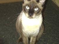 Siamese - Lacey - Large - Adult - Female - Cat Lacey is