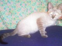 Siamese - Lenny $299 12wks - Medium - Baby - Male -