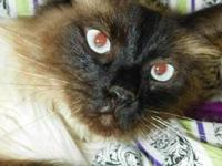 Siamese - Liam - Medium - Adult - Male - Cat His
