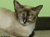 Siamese - Lincoln - Medium - Adult - Male - Cat Lincoln