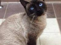 Siamese - Louie 6200 - Medium - Young - Male - Cat Cat