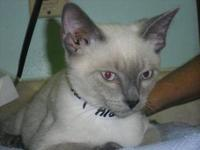 Siamese - Lucas - Medium - Baby - Male - Cat This is