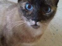 Siamese - Lula - Medium - Adult - Female - Cat The