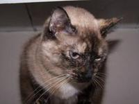 Siamese - Lydia Jane - Medium - Adult - Female - Cat