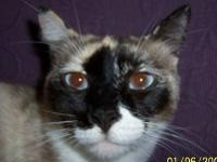 Siamese - Martha - Medium - Adult - Female - Cat