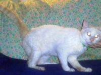 Siamese - Maxwell $299 7mo - Medium - Baby - Female -