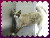 Siamese - Meg - Medium - Young - Female - Cat Meg is
