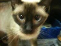 Siamese - Miles - Medium - Young - Male - Cat Miles has