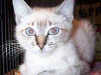 Siamese - Mimi - Small - Baby - Female - Cat Please