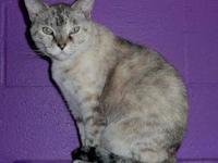 Siamese - Miss Understood - Medium - Adult - Female -