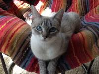A sweet young siamese (mix?) female is available for