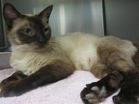 Siamese - Mocha - Medium - Young - Female - Cat
