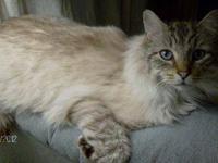 Siamese - Mojo - Medium - Adult - Male - Cat -Owner