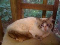 Siamese - Niko - Small - Young - Male - Cat (Adoption