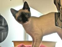 Siamese - Opal - Small - Young - Female - Cat Opal is a