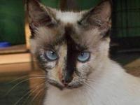 Siamese - Phoebe - Medium - Young - Female - Cat My