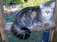 Siamese - Priscilla - Medium - Adult - Female - Cat