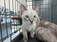 Siamese - Puff - Small - Young - Female - Cat Please