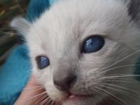 *** Apple head Siamese children *** purebred. Purebred