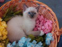 We have a litter of Siamese and Ragdoll mix kittens