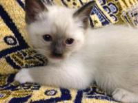 Ragdoll and Siamese kittens cross (Ragamese) males and