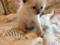 Ragdoll and Siamese kittens cross (Ragamese) 2 females