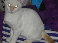 Siamese - Rascal - Medium - Young - Male - Cat Rascal