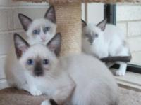 I rescued a litter of Siamese mix kittens from a small