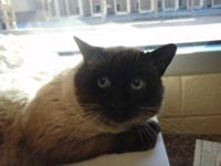 Siamese - Rhett - Medium - Adult - Male - Cat Rhett is