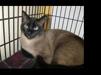 Siamese - Roshi - Medium - Adult - Male - Cat Roshi was