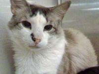 Siamese - Samson - Small - Adult - Male - Cat
