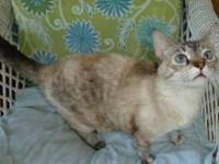 Siamese - Sapphire - Medium - Young - Female - Cat This