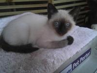 Seal Point Siamese kitten, male 10 weeks. Will be ready